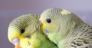 Parakeets Natural Oils