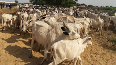 Tension in Jos over 200 missing cows