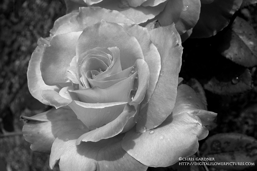 dc5efdc62 Digital Flower Pictures.com: Two Black and White Roses