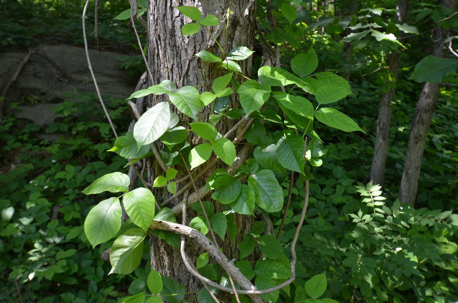 what does bittersweet vine look like