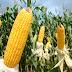 Conab oferta mais 10 mil toneladas de milho para criadores