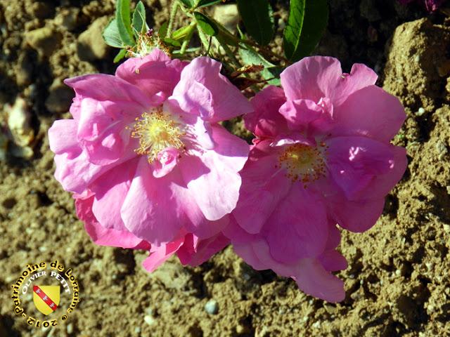 VILLERS-LES-NANCY (54) - La roseraie du Jardin botanique du Montet - Rosa Gallica