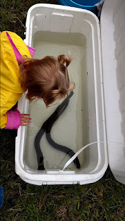 Picture of two lamprey in a cooler waiting to be released.