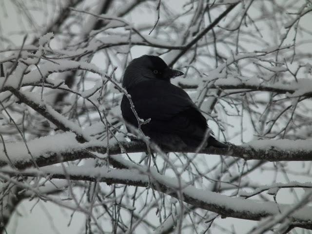 Naakka, talvi, harmaa