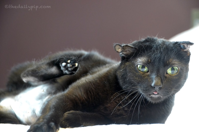 Rosie explains the the top ten reasons you should adopt a black cat