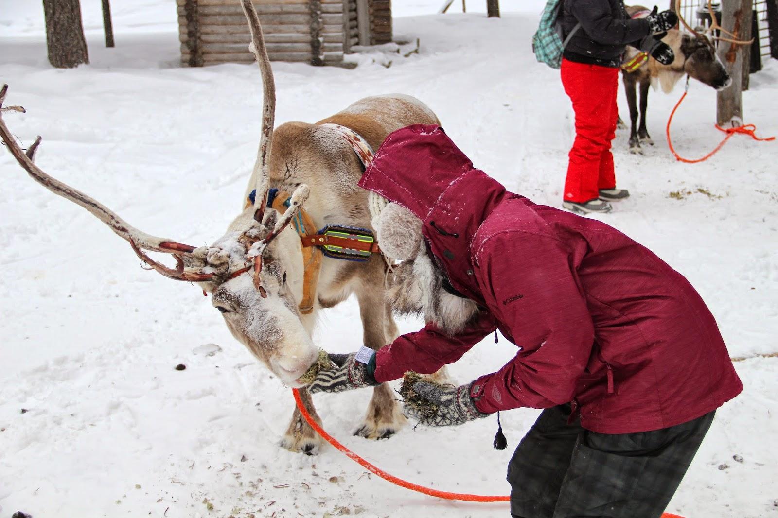 Reindeer Arctic Circle