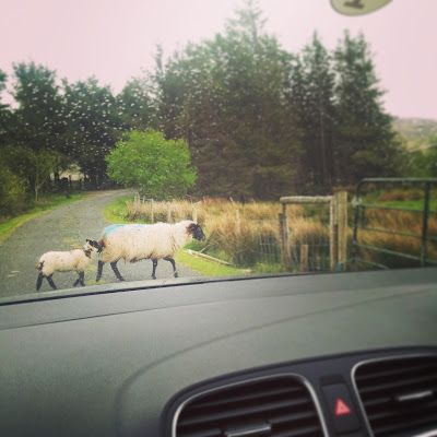 Sheep family crossing the road in Ireland. Photo by Elena Rosenberg.