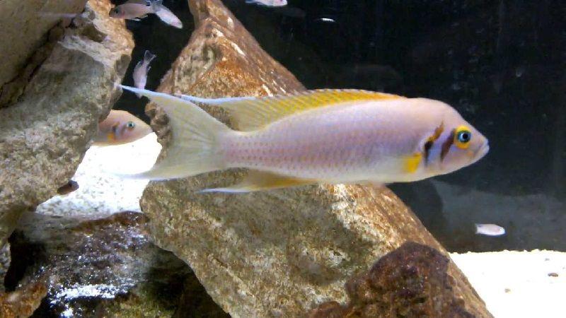 Gambar 9 Jenis Ikan Cichlid Afrika Dari Danau Tanganyika-Daffodil Cichlid ( Neolamprologus pulcher )