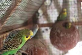 Makanan/Pakan Burung Lovebird Agar Cepat Ngekek