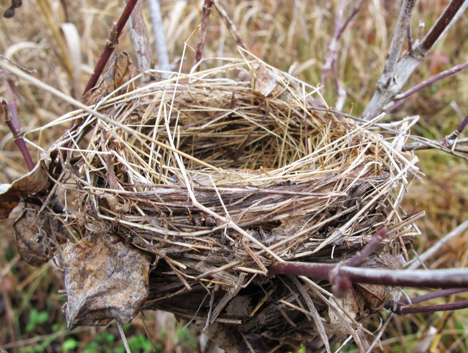 Blue Jay Barrens: Bird Nests in the Field Bird Nest With Bird