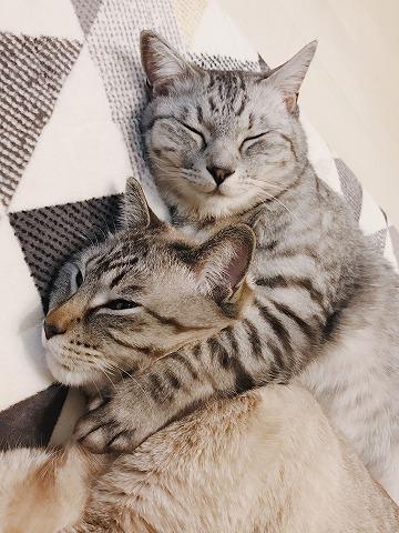 ニコニコ顔のサバトラ猫と、苦しそうな顔のシャムトラ猫