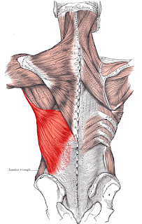 latissimus dorsi muscle, anatomy, muscle picture