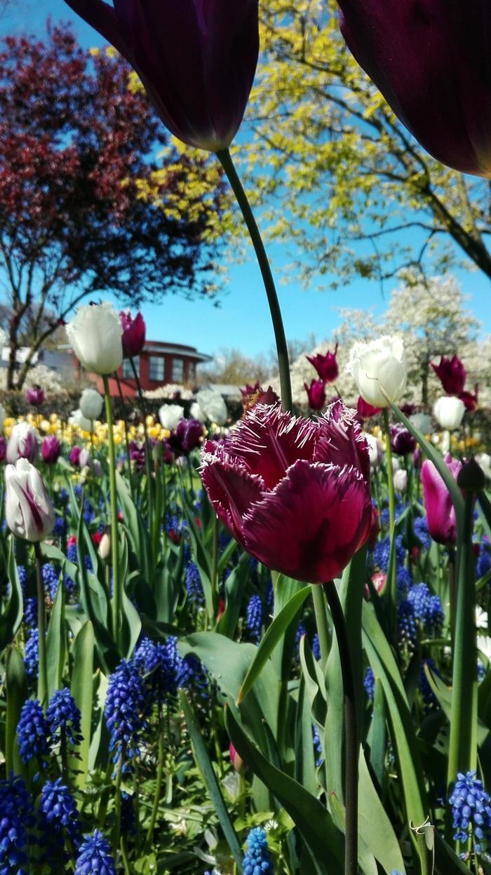 ogród tulipanów holandia