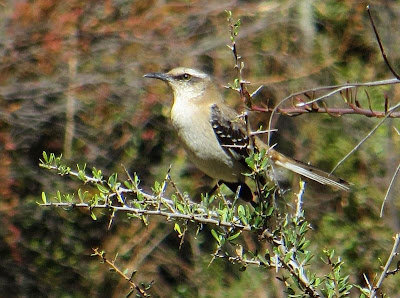Brown backed Mockingbird