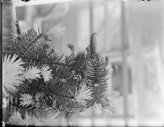 junge Triebe und Zapfen Nadelbaum, Glasnegativ 1930-1942