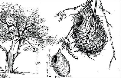 nido de Piojito silbón Camptostoma obsoletum