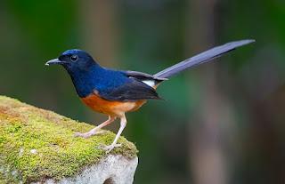 Burung Murai Batu: Mengetahui Ciri Ciri, Jenis, Perawatan