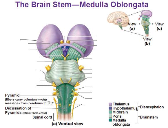 Struktur medulla oblongata