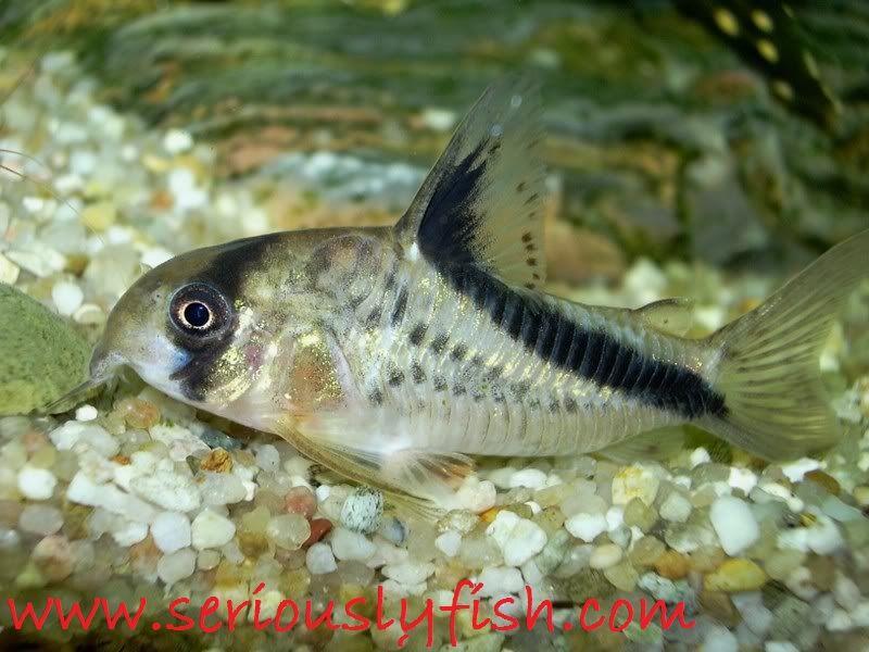 Gambar Profil Dan Klasifikasi Ikan Hias Corydoras Serta Cara Merawatnya