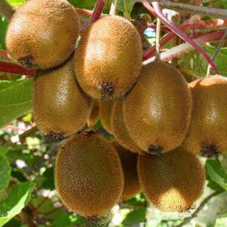 Cung cấp giống KIWI chất lượng, cam kết chuẩn giống - Kĩ thuật trồng Kiwi