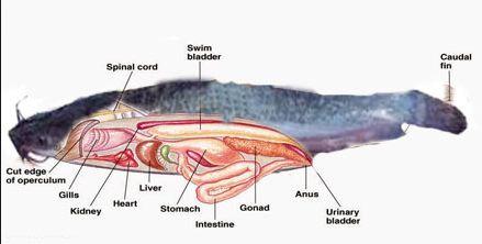 Deskripsi Ikan Lele