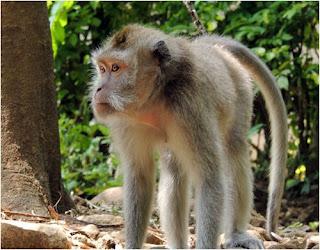 Monyet itu mempunyai ekor dan biasanya mempunyai badan kecil