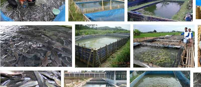 Tahapan Ternak Ikan Lele yang Tepat dan Panen Cepat