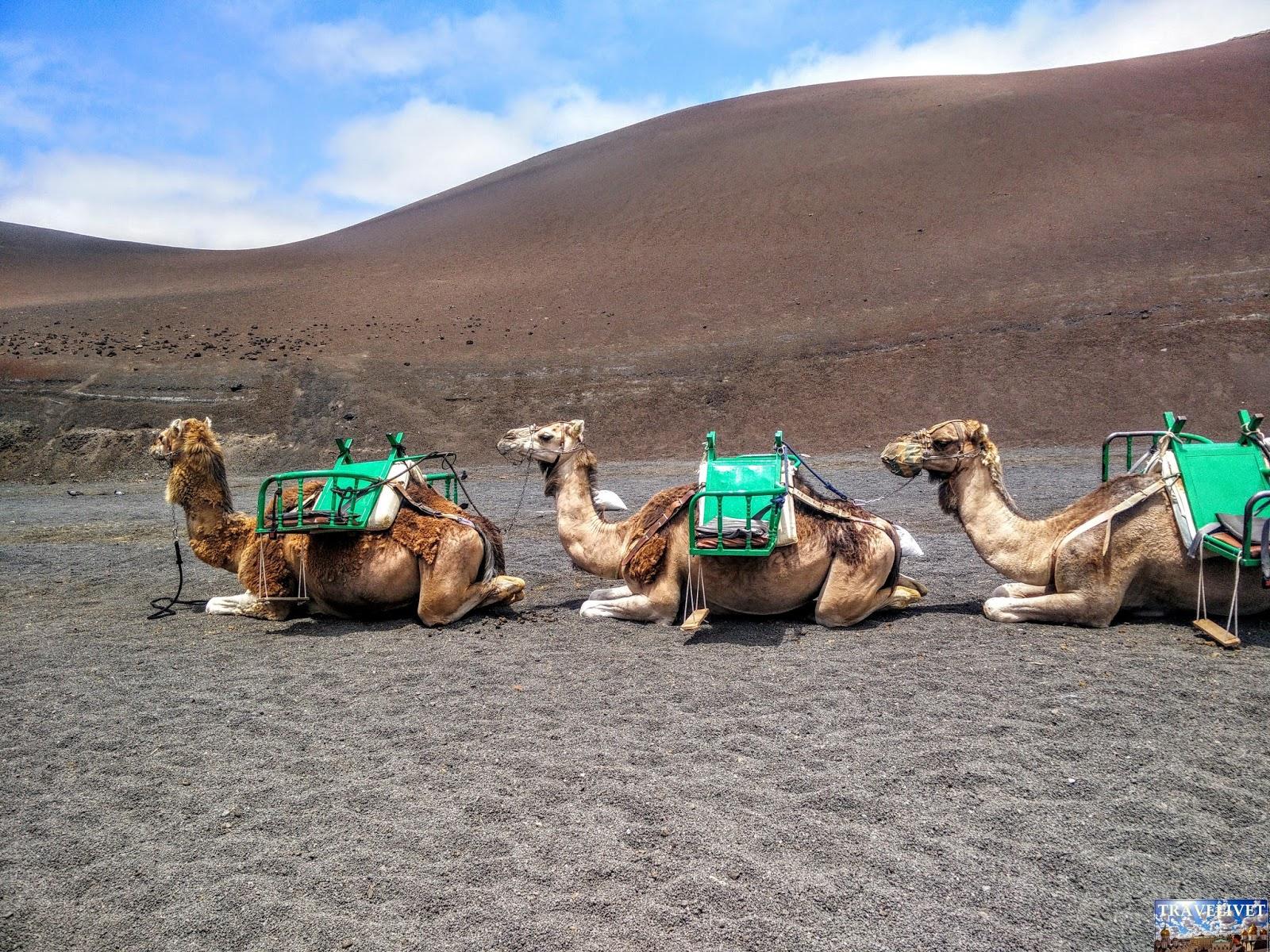 Lanzarote Dromadaire chameau Camel