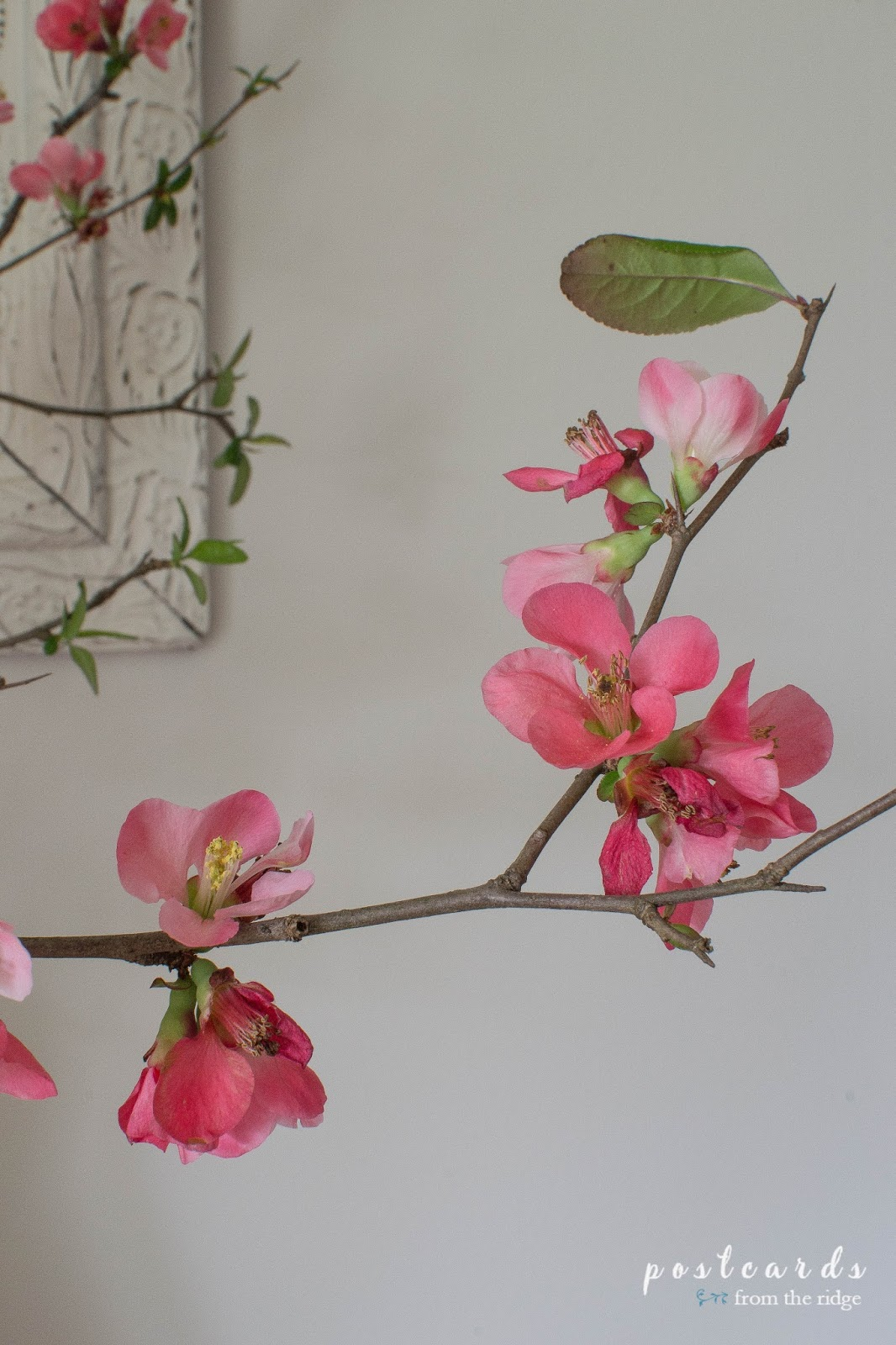 coral quince blossoms