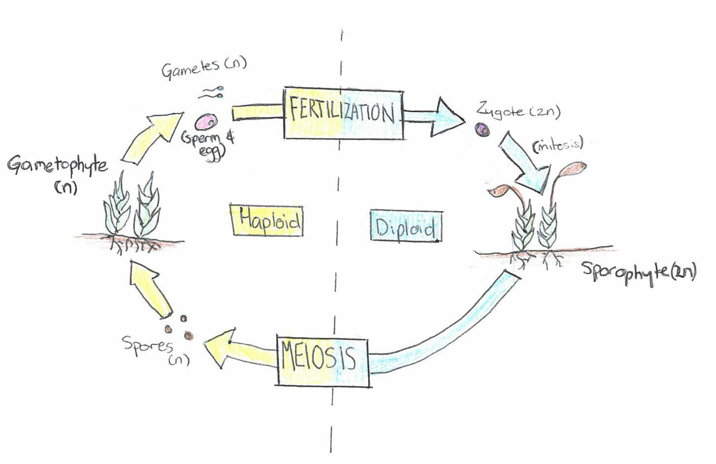 Life Cycle Of A Labeled Moss Diagram 480 Volt 3 Phase To 240 Single Wiring Fuel Cell Flow Chart Free Engine Image For User