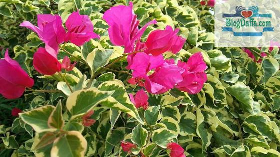 Tanaman indoor English Ivy