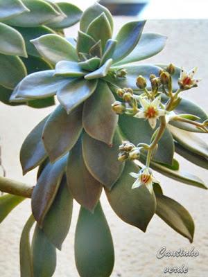 A suculenta planta fantasma em flor- Graptopetalum paraguayense