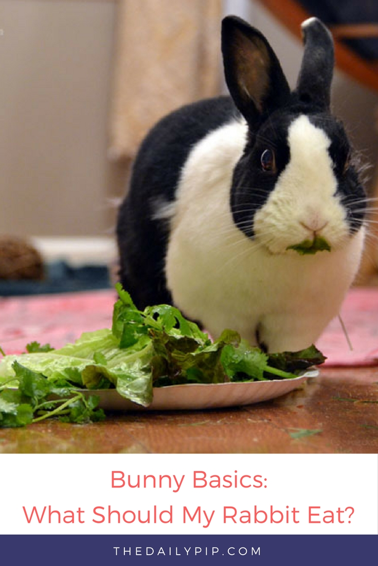 What should I feed my rabbit? Rabbits are herbivores and should have two salads and access to hay all day