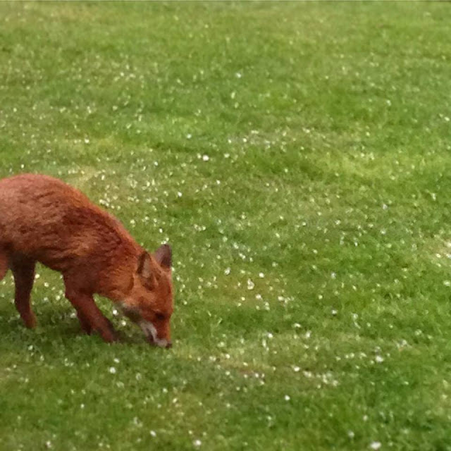 fox, nature, forests, woods, de tout coeur limousin, retreat, creuse, royere de vassiviere, monsieur renard, garden. wildlife, spring time, printemps, happy May, springwatch, rural France, holidays. retreats, creative, well being, wellness,