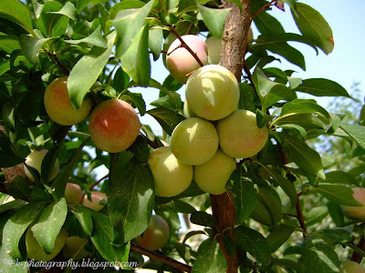 Plum Fruits