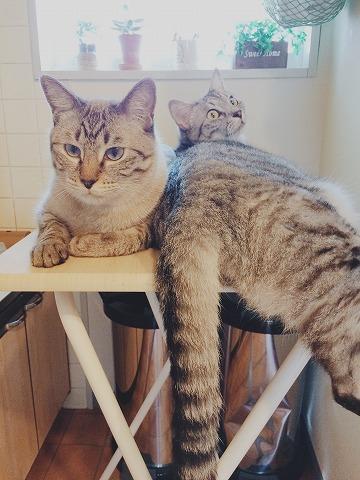 キッチンの物置台を占拠するシャムトラ猫とサバトラ猫