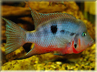 Firemouth Fish Pictures