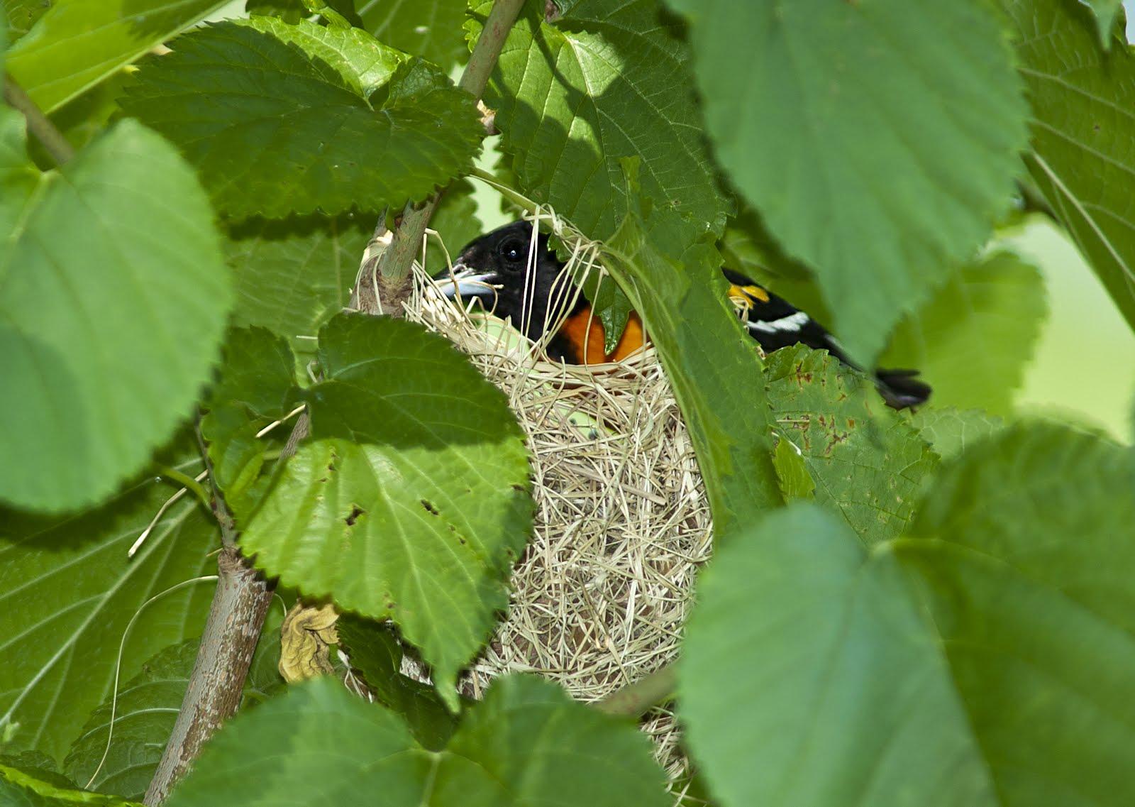 Orchard Oriole Nest - photo#16