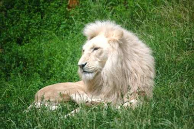 Little Paler White Lion