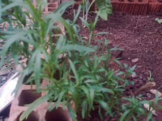 Estragão na minha horta
