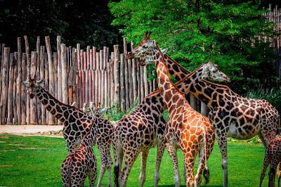 Dikandangkan atau dibebaskan haruskah hewan dipelihara di kebun binatang