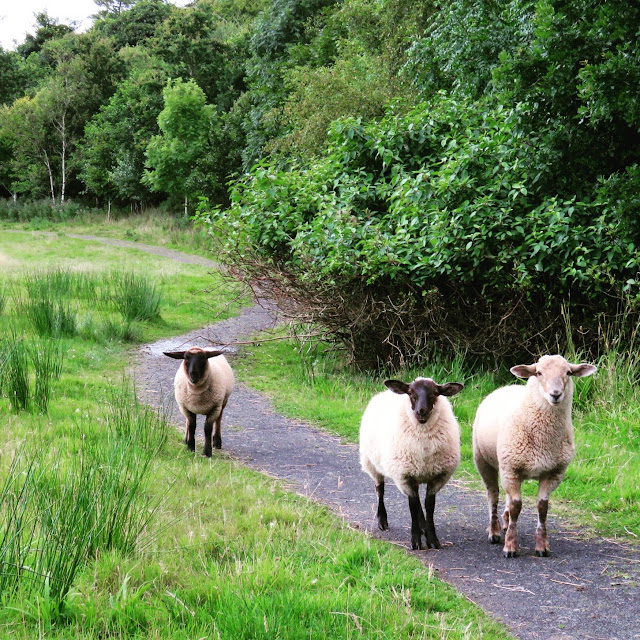 Sheep at Mount Falcon Estate in County Mayo, Ireland