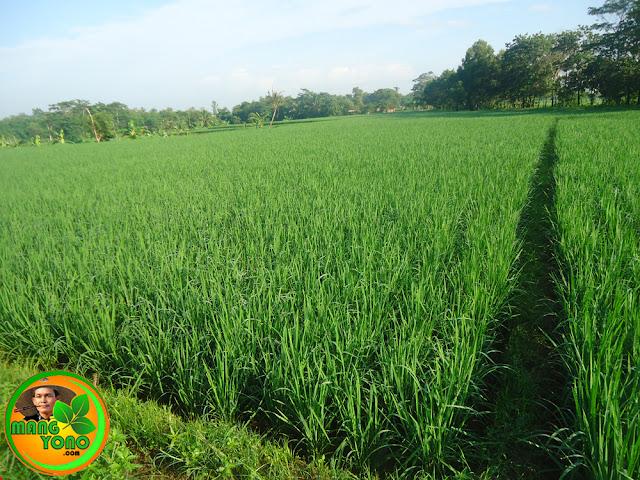 Keunggulan menanam padi jenis Ciherang