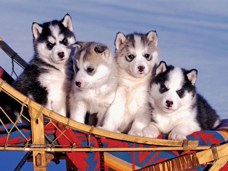 Princess Welcomes Sled Dog Puppies on Alaska Cruises