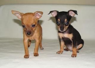 razas de perros pequeños chihuahua