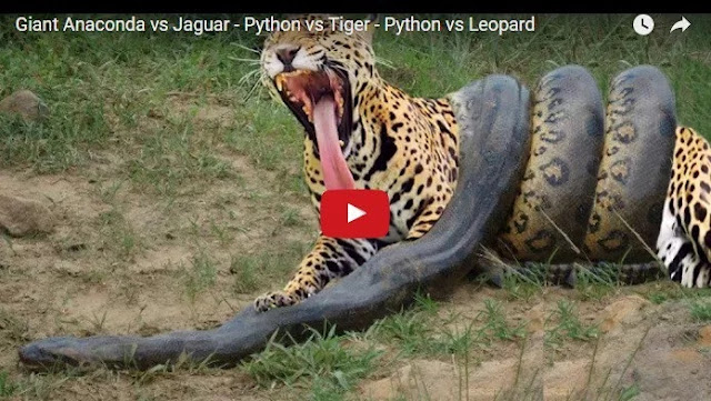 Download Video: Giant Anaconda vs Jaguar – Python vs Tiger – Python vs Leopard….. You need to Watch this!