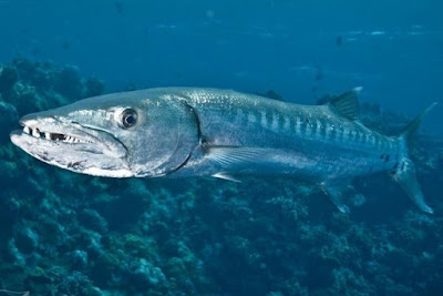 Barracuda - Animals Beginning With B