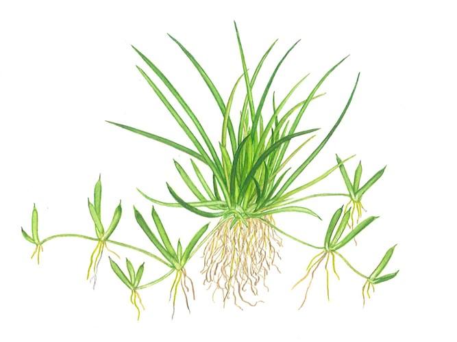Cây cỏ ống sẽ bò lan ra nền trong hồ thủy sinh