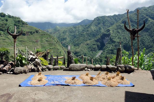 Sun dried Just Harvested Batad Tinawon Rice Stalk Bundles