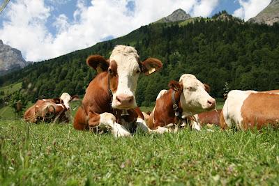 Anticorpi super difesa contro HIV dalle mucche